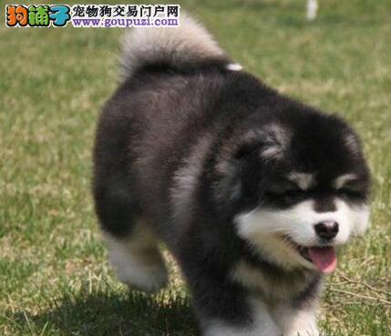 基地转让高品质重庆阿拉斯加雪橇犬血缘清楚保证纯种