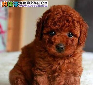 身体健康品相好的泉州泰迪犬找爸爸妈妈 签订售后协议