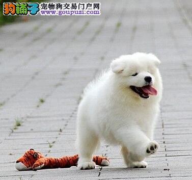 重庆狗场热卖极品萨摩耶购买可签订活体协议