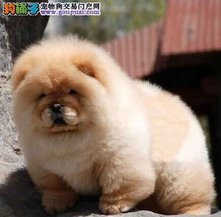 大头肉嘴紫舌头松狮幼犬宝宝出售