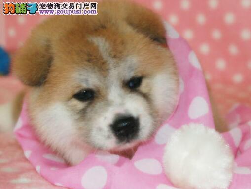 包头正规犬舍出售冠军血系的秋田犬 疫苗驱虫已做好