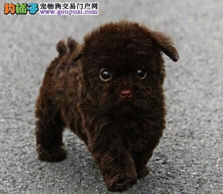 犬舍直销品种纯正健康天津贵宾犬请您放心选购