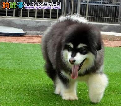 北京最大的阿拉斯加犬基地 完美售后终身售后协议