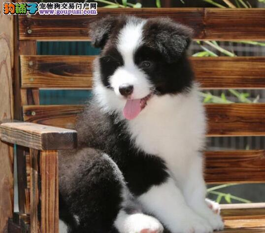 自己家养边境牧羊犬最聪明的犬种生漂亮宝宝,价格不一