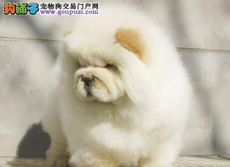 低价出售美系纯血统的绍兴松狮犬 希望大家上门看种犬
