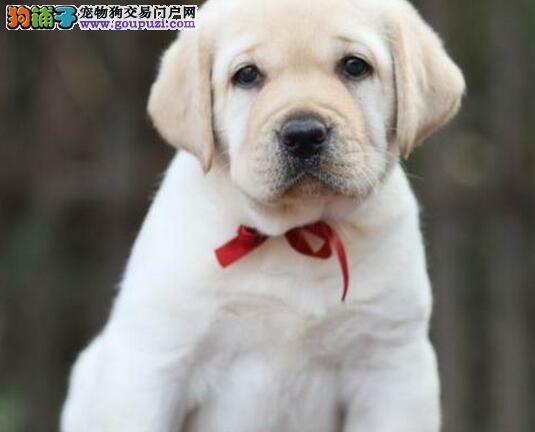 奶白色咖啡色黑色的绍兴拉布拉多犬找新家 非诚勿扰