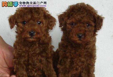 出售正宗韩系郑州贵宾犬 品质高血统纯有质保