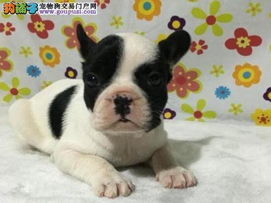 CKU犬舍认证出售高品质乌鲁木齐法国斗牛犬喜欢加微信可签署协议
