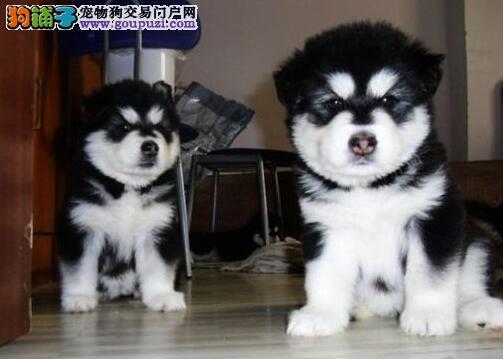 强力推荐武汉纯种阿拉斯加幼犬 超帅气超大形体 好品质