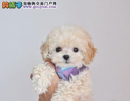 青岛大型犬舍热卖纯种韩国血统泰迪犬 可办理血统证书