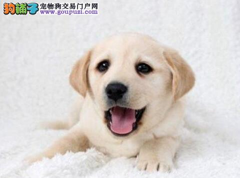 聪明温顺纯种漂亮的唐山拉布拉多犬找新家 有血统证书