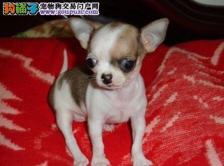 品相好体型佳的呼和浩特吉娃娃幼犬出售中 非诚勿扰