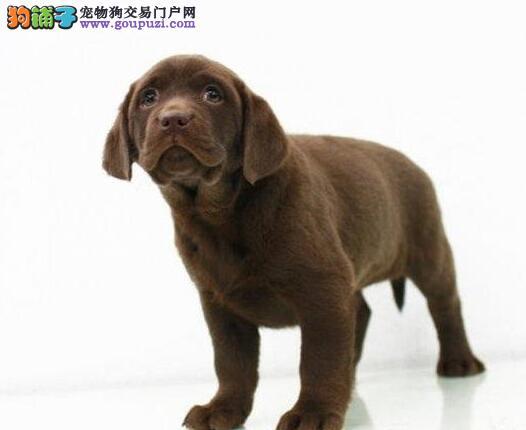 直销拉布拉多幼犬、假一赔十质量保障、签订正规合同
