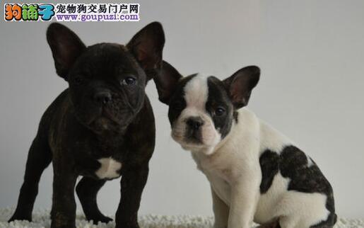 出售奶油虎斑色的呼和浩特斗牛犬 来场可见狗父母