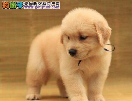 呼和浩特的金毛犬找新主人 健康血统有保障放心选购