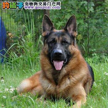 正规狗场犬舍直销德国牧羊犬幼犬品质优良诚信为本