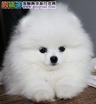 呼和浩特狗场出售毛白的博美犬 1~3窝可供您选择