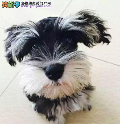 热销纯种健康的和平雪纳瑞 多窝幼犬任您选择购买