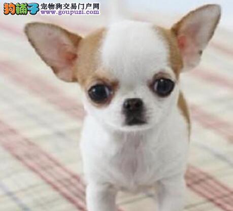 出售优雅活泼体型较小的南京吉娃娃幼犬 多只挑选
