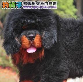 出售精品藏獒幼犬头大毛长骨骼健壮品质佳