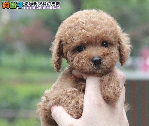 犬舍直销品种纯正健康贵宾犬微信咨询看狗