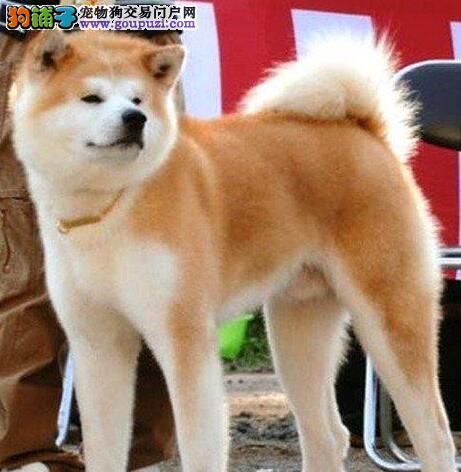 武汉养殖场直销完美品相的秋田犬签署各项质保合同