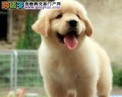 温顺赛级品质的珠海金毛犬找新家 可办理证书植入芯片