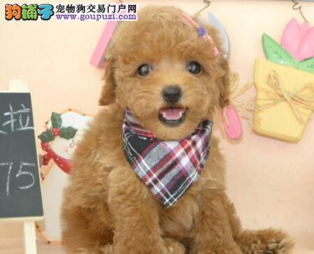 顶级优秀的纯种天津贵宾犬热销中优质售后服务