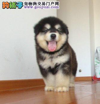 阿拉斯加雪橇犬 大骨架 品相佳 黑白色 犬舍直销
