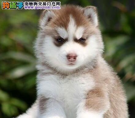高端哈士奇幼犬,CKU认证犬舍,签订终身合同