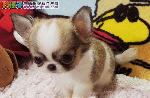 出售纯种吉娃娃幼犬 价格合理健康有保障售后可签合同