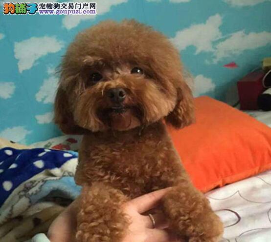 脸型甜美大眼睛的珠海贵宾犬找新家 可视频看实物