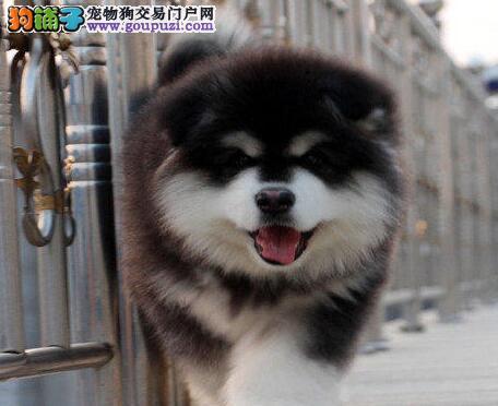 精品纯种咸阳阿拉斯加犬出售质量三包保证冠军级血统
