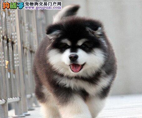 珠海繁殖基地专业缔造优质阿拉斯加幼犬 可以送货