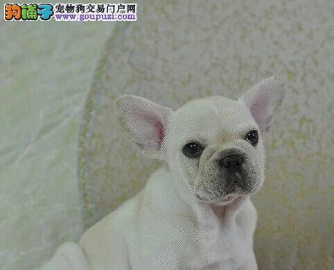 纯种法国斗牛犬幼犬出售 品相好 包纯种健康可签协议