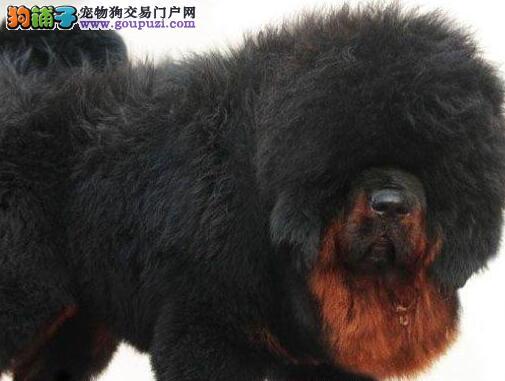 大型专业培育藏獒幼犬包健康可直接视频挑选