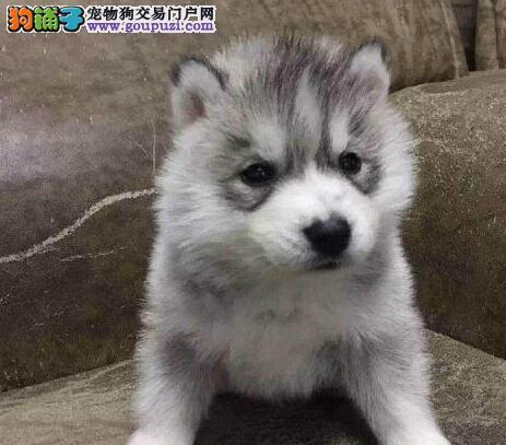 珠海正规繁殖犬舍出售纯种蓝宝石眼睛的哈士奇幼犬