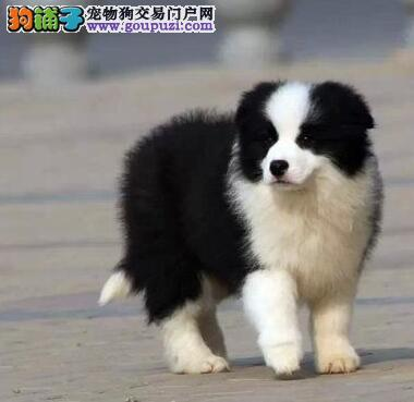 热销百分百纯种广州边境牧羊犬 已做疫苗可视频看狗