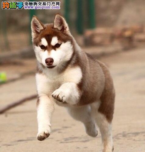 台州正规狗场低价出售三把火哈士奇 签订协议书