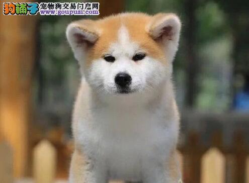 呼和浩特繁殖基地出售毛色纯正的秋田犬 非诚勿扰