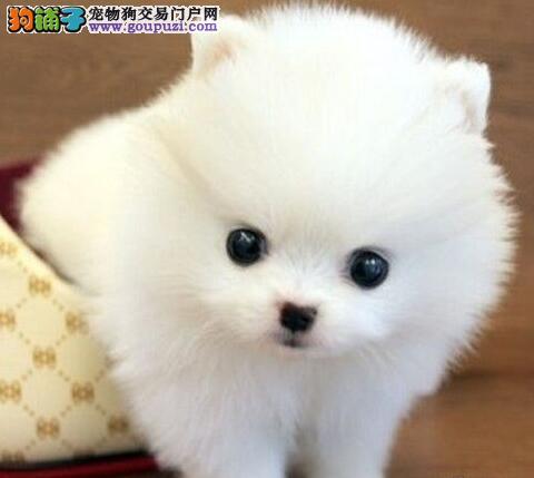 特价出售优秀纯种大庆博美犬 品质高价格低有售后保证