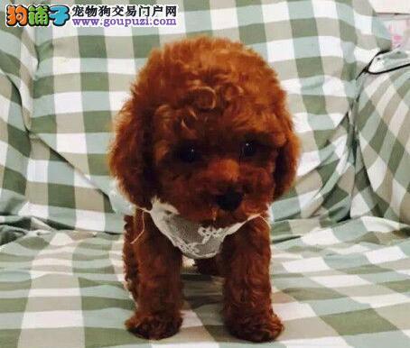 呼和浩特正规狗场出售泰迪犬 喜欢的朋友不要错过
