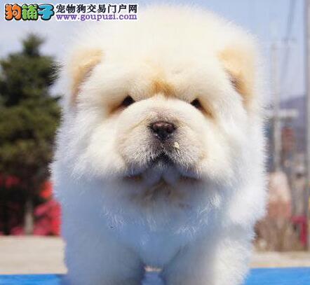 十堰本地出售高品质松狮宝宝微信看狗真实照片包纯