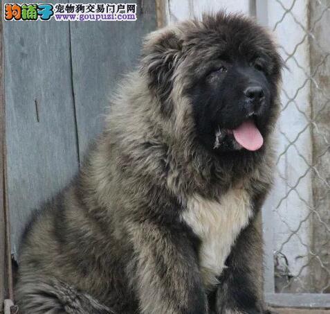 出售高大威猛原生态血系的呼和浩特高加索犬 非诚勿扰