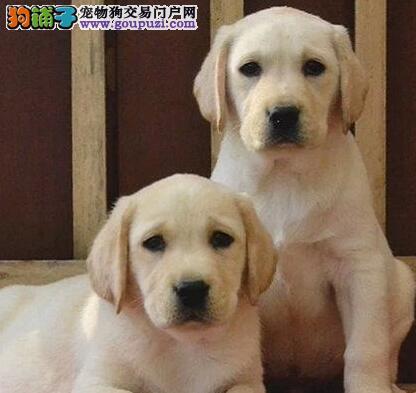 纯种沧州拉布拉多犬低价转让赠芯片签订活体