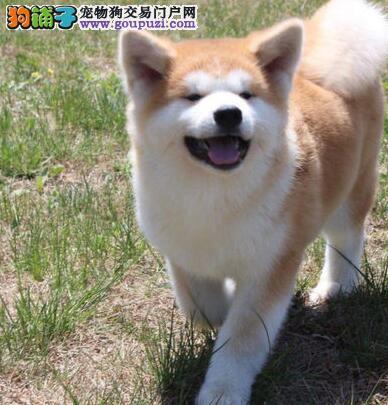 银川狗场直销血统正宗的秋田犬活泼靓丽色泽纯正