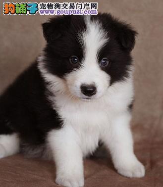 正规犬舍出售双血统赛级哈尔滨边境牧羊犬 支持空运