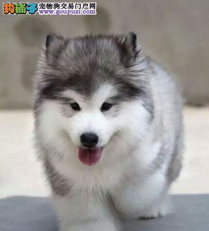正宗大骨架阿拉斯加幼犬 正宗养殖基地出售 健康质保