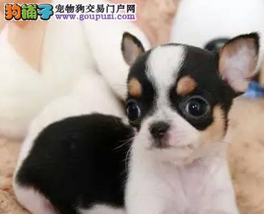多种颜色的贵阳吉娃娃幼犬找新主人 签订正规售后协议