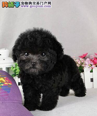 杭州顶尖犬舍特价直销纯种韩系血统泰迪犬 保健康